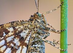 Latticed Heath (johnhallmen) Tags: macro insect naturallight lepidoptera geometridae canonmpe65 canon5dmkii zerenestacker