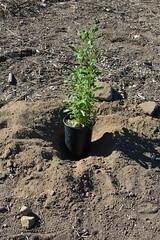 Black sage (Weeding Wild Suburbia) Tags: spnp