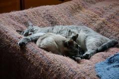 cattipasibel011 (Lisa/Alex's doll) Tags: cat feline kitty kitties
