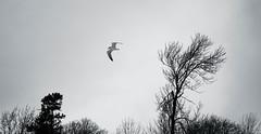 Cold Flight (imageClear) Tags: trees winter sky cold nature wisconsin contrast dark landscape fly flying nikon flickr gull flight windy solo lone sheboygan frigid lowkey photostream naturephotography landscapephotography 35mmf18 d7000 imageclear coldflight