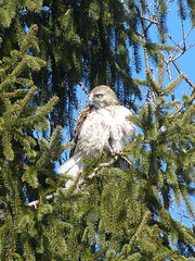 red-tailed hawk (quadceratops) Tags: winter red bird nature boston pond hawk massachusetts raptor jamaica plain tailed buteo 14hawks8owls