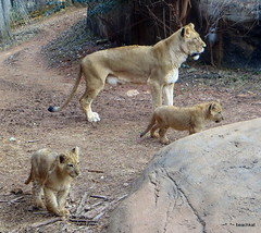Kiki with two of the cubs (3 mos) (beachkat1) Tags: cats animals zoo lion lions cubs zooatlanta 2014 africanlions zoosofthesouth zoosofnorthamerica flickrbigcats