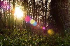 woodland flare (Simon[L]) Tags: sun foliage lensflare f22 yashicaml50mmf14 lensturbo