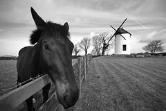 Ashton Windmill, Somerset, Ian Wade (Disorganised Photographer - Ian Wade - Travel, Wil) Tags: blackandwhite horse windmill landscape somerset balance