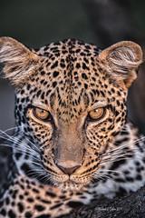 Leopard Portrait (MyKeyC) Tags: africa tanzania leopard todd leopardcloseup leopardportrait aaacoltanzania