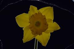 jonquilles 018b (Jean-marc17340) Tags: flowers art nature colors composition fleurs compositions montage imagination artistes jonquilles cration cr