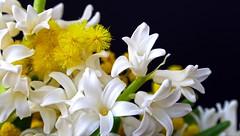 Yellow & white (Luc1659) Tags: white yellow giallo fiori mimosa bianco giacinto abigfave mygearandme mygearandmepremium mygearandmebronze mygearandmesilver infinitexposure