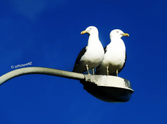 I Cannot see a cloud either (Steve Taylor (Photography)) Tags: blue light sky white black bird seagull gull lamppost cloudless
