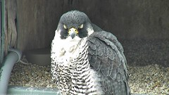 Zzzzzz... (Conserve Wildlife Foundation of NJ) Tags: newjersey jerseycity nj 2014 peregrinefalcon