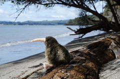 Kiwi by Lake Te Anau :) (Spannarama) Tags: trees newzealand lake beach forest toy path driftwood treetrunk nz kiwi teanau tramping kepler keplertrack