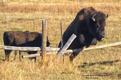 GRAND TETON NATIONAL PARK ... We are jumping the fence ... (Aspenbreeze) Tags: animal buffalo wildlife wildanimal bison aspenbreeze moonandbackphotography bevzuerlein buffalojumpingfence bisonjumping moonandbackphotos moonandbackphotosa