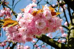 Cerisier du JApon (Wenakari) Tags: nature fleur rose fleurs plante arbre japon cerisier ete