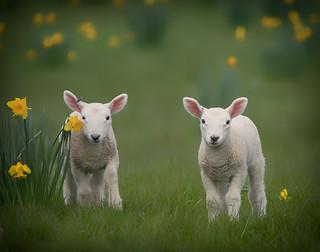 Lambs - Version 2