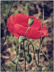 IMG_4793 (Tasos_K) Tags: red colour canon spring greece poppy poppies g9