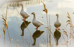 Goose on ice in Vlissingen (ramon_harkema) Tags: holland bird nature netherlands birds nederland vogels natuur zeeland goose gans vlissingen vogel