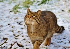 Scottish Wildcat (Michelle O'Connell Photography) Tags: wild animals cat scotland countryside feline unitedkingdom fife wildlife tabby tortoiseshell touristattraction ecosse cupar scottishwildcat europeanwildcat bowoffife thescottishdeercentre michelleoconnellphotography