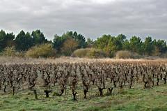 Thse-la-Romaine (Loir-et-Cher) (sybarite48) Tags: france vine vigne vite videira weinstock vid  asma  wijnstok winorol   winorosl thselaromaine  loirtcher ap