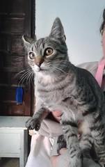 Krilin 23 (Asociacin Defensa Felina de Sevilla) Tags: espaa sevilla gatos felinos animales gatitos adoptar protectora adopciones apadrinar gatosurbanos defensafelina asociacindeanimales coloniasdegatos proteccindegatos activismoporlosanimales