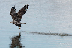 Juvenile Bald Eagle fishing sequence - 7 of 13