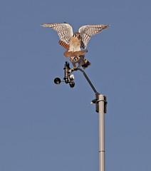 American Kestrels Mating (Darin Ziegler) Tags: urban male female nikon colorado falcon coloradosprings mating anemometer americankestrel birdofprey sparrowhawk weatherstation d300 falcosparverius davisvantagepro2 darinziegler afsvriinikkor300mmf28gifed