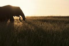 a morning silhouette (charlesgyoung) Tags: africa elephant tanzania nikon safari d3 serengetinationalpark charlesyoung kleinscamp nikonfx nomadtanzania karineaignerphotographyexpedition