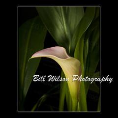 Calla Lily (wildlifephotonj) Tags: flowers flower lily lilies callalily callalilies callalillies flowerphotos flowerprints