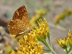Calephelis (carlos mancilla) Tags: insectos butterflies mariposas calephelis olympussp570uz