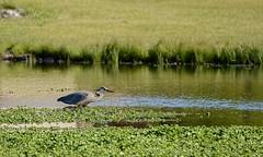 Waiting, Watching (brev99) Tags: bird water pond greatblueheron d7100 topazdenoise topazdetail tamron70300vc highqualityanimals