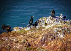 Birds, cormorants, guls in Toledo, Spain (Phil Fiddyment) Tags: bird water birds cormorants spain toledo cormorant shag shags seaguls phalacrocoracidae