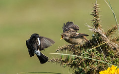 Stonechat 1 of 3-1702 (Geoff_Holland) Tags: