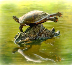 I Believe I can Fly by James Figielski (Paulinskill River Photography) Tags: nature yoga river turtle wildlife turtles basking paintedturtle paulinskillriver paulinskillriverphotography jamesfigielski