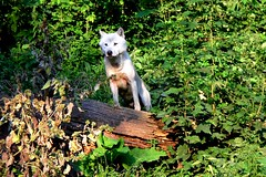 2013 - White Wolf (Shakar Photography) Tags: park white male animal fur wolf tierpark rde canid