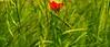 La amapola (Jesus_l) Tags: españa europa valladolid espigas amapola camposdecastilla jesúsl