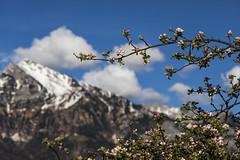 Spring (Thomas Mülchi) Tags: switzerland spring cherrytree mols 2016 churfirsten cantonofstgallen sichelkamm churfirstenmountainrange