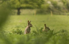 Shooting Rabbits (Rob Pitt) Tags: cute bunny nature field cheshire image bokeh wildlife ears rabbits wirral stabilization 750d 55250mm