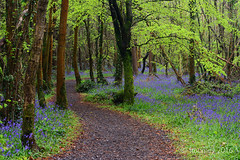 Killinthomas (wirepic) Tags: blue trees ireland green nature bluebells woods path winding