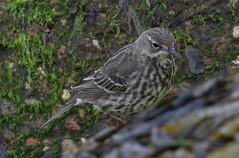 Rock Pipit 3 20160507 (Steve TB) Tags: bird canon broadstairs pipit rockpipit eos7dmarkii