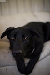 Sweet Pupper (Mason Aldridge) Tags: dog cute canon puppy 50mm mix eyes lab labrador dof sweet bokeh shepherd f14 adorable depth pupper woofer shallowdepthoffield 6d wideopen