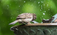 Head Spinning (DSC07201) (Michael.Lee.Pics.NYC) Tags: newyork bird birdbath bokeh centralpark sony spin sparrow shake conservatorygarden burnettfountain a7rm2 fe70300mmg
