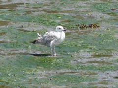 Scenes from the Penryn River (4) - 8 June 2016 (John Oram) Tags: bird cornwall gull penryn penrynriver 2002p1110041