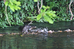 European otter (Lutra lutra) with lamprey  (12) (Geckoo76) Tags: river otter lamprey lutralutra europeanotter