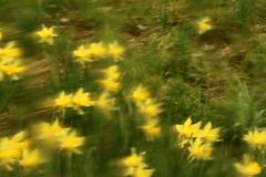 Blurry Daffodils (gripspix (OFF)) Tags: glass germany deutschland blurry distorted pane unscharf glas daffodils dettingen archiv irregular osterglocken lookingthrough badenwrttemberg scheibe horb verzerrt durchsicht priorberg unregelmssig 20160404