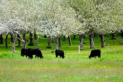 Annapolis Valley Pasture (photo fiddler) Tags: apple june novascotia cows orchard grazing kingsport 2015