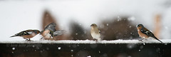 Snowy Day (kfjmiller) Tags: 14teleconverter 2016 april birds chaffinch define2 gardenbirds isleofmull nikkor300mmf4 nikon scotland snow spring winter