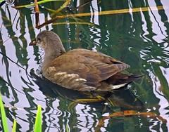 Teenage Kicks (Bricheno) Tags: bird scotland escocia chick szkocja renfrew schottland moorhen scozia renfrewshire cosse  esccia   bricheno clydeviewpark scoia