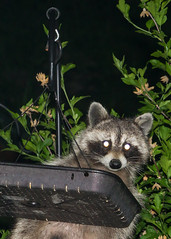 Caught In The Act (melmark44) Tags: tapetumlucidum raccoon flash night birdfeeder bird caught stealing thief mask whiteeye oncameraflash prefocus tripod startled blinded eyes roseofsharon deck pole hanging backyard procyonlotor raid nocturnal feeder platform raccooneyes raccoonintheheadlights caughtintheheadlightslook nose whiskers