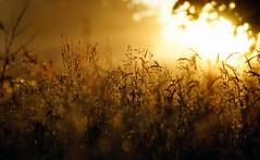 rising mists (Simon[L]) Tags: sunset mist grass meadow kilfittmakrokilar90mm