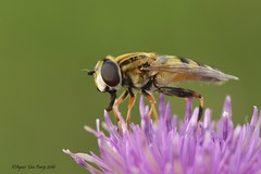pendelvlieg (Agnes Van Parijs) Tags: macro insect vlieg zweefvlieg pendelvlieg heliophilus