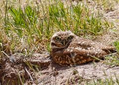 1-burrowingowl-4183 (h.redpoll) Tags: bigbendtrip burrowingowl elpasowetlandspark texas