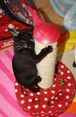 Gata Pucca (34) (adopcionesfelinasvalencia) Tags: gata pucca